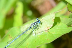 голубой dragonfly Стоковые Изображения