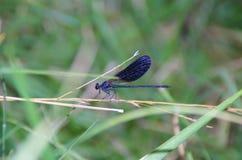 голубой dragonfly Стоковое Изображение RF