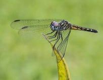 Голубой Dragonfly Dasher на зеленых лист Стоковые Фотографии RF