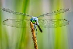 Голубой Dragonfly Dasher на тростнике Стоковое фото RF