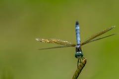 Голубой Dragonfly Dasher на тростнике Стоковые Изображения RF