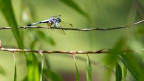 голубой dragonfly dasher Стоковая Фотография RF