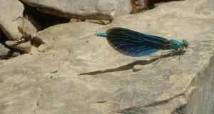 Голубой dragonfly, virgo calopteryx Стоковая Фотография RF