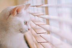 голубой eyed кот Стоковая Фотография