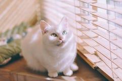 голубой eyed кот Стоковые Фото