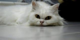 голубой eyed кот Стоковое фото RF
