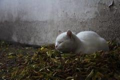 голубой eyed кот Стоковое Изображение RF