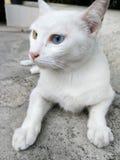 голубой eyed кот Стоковая Фотография RF