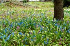 Голубой flowerbed galanthus Стоковая Фотография RF