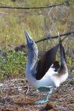 Голубой Footed олух выполняя сопрягая танец Стоковые Фото