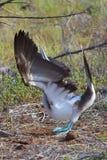 Голубой Footed олух выполняя сопрягая танец Стоковое фото RF