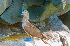 Голубой footed олух в Галапагос, эквадор Стоковое Изображение
