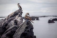 Голубой Footed олух в природе - Галапагос - эквадоре Стоковая Фотография RF