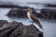 Голубой Footed олух в природе - Галапагос - эквадоре Стоковые Изображения RF