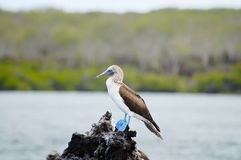 Голубой Footed олух - Галапагос - эквадор Стоковое Изображение