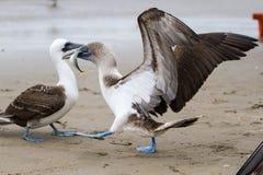 Голубой footed олух крадя рыб Стоковые Фотографии RF