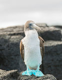 Голубой footed олух на утесах принятый на остров Floreana, Галапагос Стоковые Изображения RF