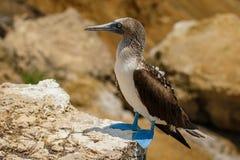 Голубой footed олух на Isla de Ла Plata, эквадоре Стоковые Фотографии RF