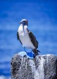 Голубой footed олух, острова Галапагос, эквадор Стоковое Фото