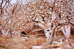 Голубой footed олух под деревом Стоковая Фотография