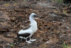 Голубой footed олух, птица младенца, nebouxii sula, Галапагос Стоковые Изображения