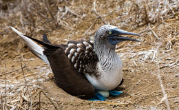 Голубой Footed олух сидя в гнезде Стоковые Фотографии RF