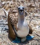 Голубой Footed олух сидя в гнезде Стоковая Фотография