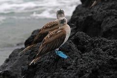 Голубой footed олух, nebouxii sula, Галапагос Стоковое Изображение RF