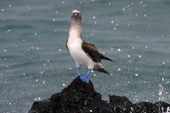 Голубой footed олух, nebouxii sula, Галапагос Стоковое Изображение