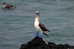 Голубой footed олух, nebouxii sula, Галапагос Стоковая Фотография RF