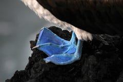Голубой footed олух, nebouxii sula, Галапагос Стоковые Фото