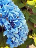 голубой hydrangea Стоковые Изображения RF