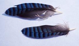 2 голубой jay меньшее перо стоковые фотографии rf
