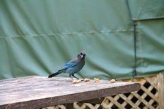 Голубой jay на столе для пикника Стоковое фото RF
