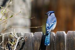Голубой jay садить на насест на деревянной загородке Стоковое фото RF