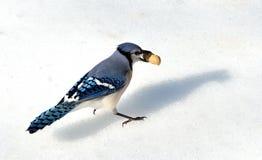 Голубой jay Стоковые Фото
