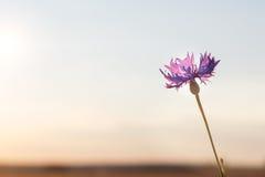 Голубой knapweed на ясный солнечный день стоковое изображение