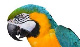 голубой macaw золота Стоковая Фотография