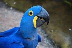 голубой macaw Стоковые Фотографии RF