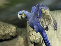 голубой macaw Стоковое Фото