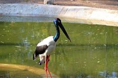 Голубой Necked Egret Стоковые Фотографии RF