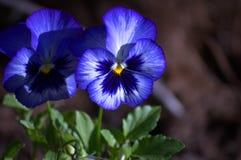 Голубой Pansy стоковое изображение
