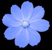 Голубой Primula цветка предпосылка изолированная чернотой с путем клиппирования closeup Стоковая Фотография RF