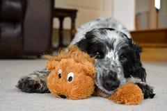 Голубой Spaniel кокерспаниеля Роны с игрушкой Стоковая Фотография