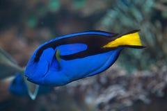 Голубой surgeonfish (hepatus Paracanthurus) Стоковое Изображение RF