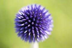 Голубой Thistle глобуса Стоковое Фото