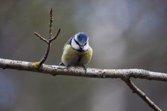голубой tit Стоковая Фотография