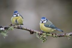 голубой tit Стоковая Фотография RF