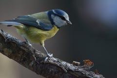 голубой tit Стоковое Фото