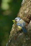 голубой tit Стоковые Фотографии RF